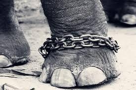 pata elefante